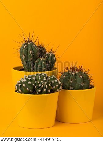 Three different small cactus plants in yellow flower pots on yellow background