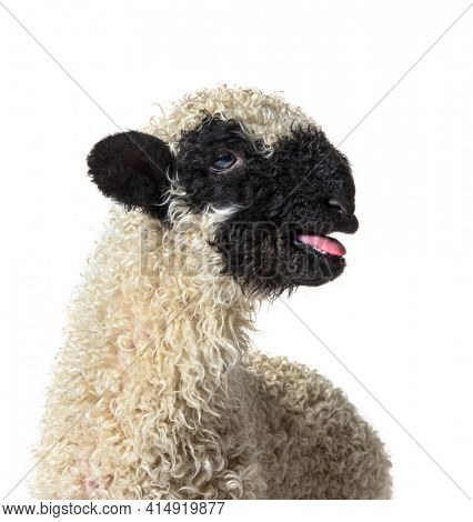Portrait of a Lamb Valais Black Nose sheep bleating isolated on white