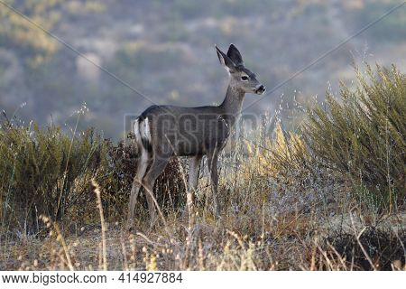 Young Mule Deer on ridge at Rocky Peak Park in the Santa Susana Mountains near Los Angeles and Simi Valley, California.