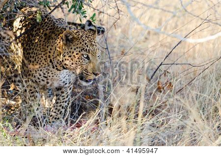 Leopard with his kill under a tree
