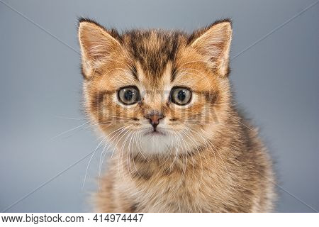 Beautiful Little British Kittens On A Gray Background