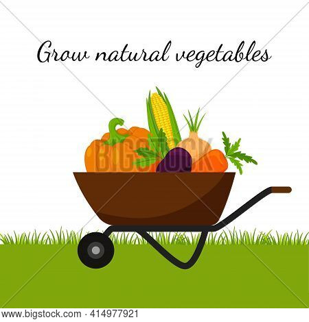 A Garden Wheelbarrow Full Of Vegetables, Pumpkin, Corn, Carrots, Beets. The Concept Of Growing Your