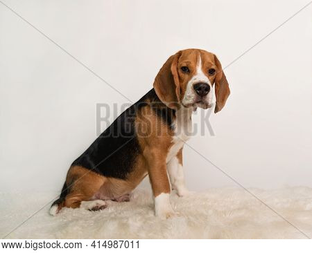 A Beagle Puppy On A White Background Sits Looking At The Camera