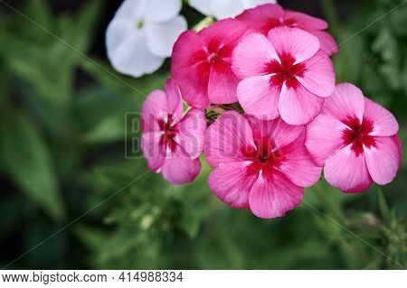 Purple Flowers Of Phlox Paniculata. Blooming Phlox Branch In The Garden On A Blurred Green Backgroun