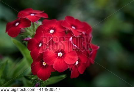 Red Flowers Of Phlox Paniculata. Blooming Phlox Branch In The Garden On A Blurred Green Background.