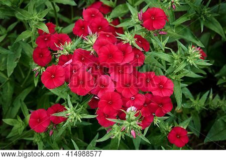 Red Flowers Of Phlox Paniculata. Blooming Phlox In The Garden On A Blurred Green Background.