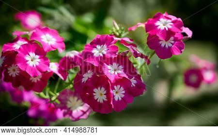Purple And White Flowers Of Phlox Paniculata. Blooming Phlox In The Garden On A Blurred Green Backgr