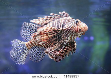 Lionfish in a Dubai Zoo aquarium. Pterois mombasae. Petrois Volitans. Lionfish. Turkeyfish. Scorpionfish. Firefish.