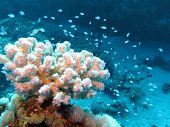 coral reef with beutiful white hard coral and exotic fishes at the bottom of red sea - underwater photo poster
