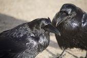 Raven Crow in snow winter Alberta Canada poster