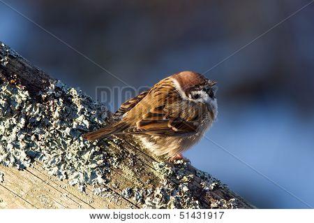 Tree Sparrow (Passer Montanus) Enjoy The Sunshine.