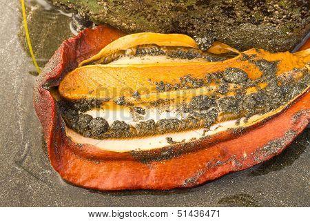 Gumboot chiton