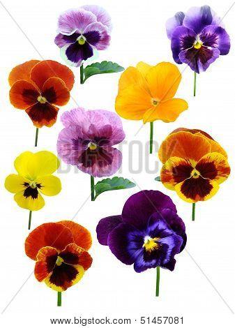 pansies Violets flowers