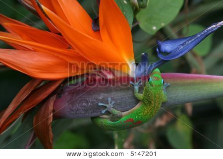 Gecko In Paradise