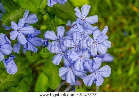 Cape Leadwort Flower (white Plumbago; Plumbago)