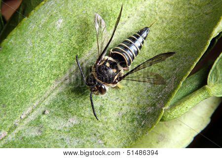 Bee on an Orange Tree Leaf