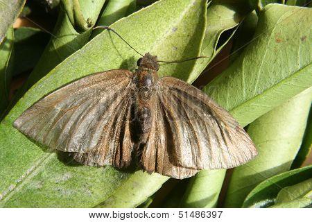 Brown Moth on a Leaf