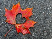 Fall in love photo metaphor. Red maple leaf with heart shaped hole lays on dark asphalt road poster