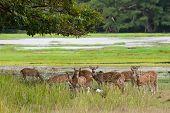 Herd of Sri Lankan axis deer in Yala national park poster
