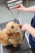 Veterinary Nurse Weighing Dog In Surgery poster