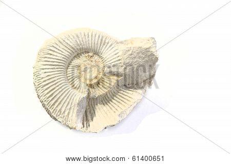 Old Amonite Skeleton