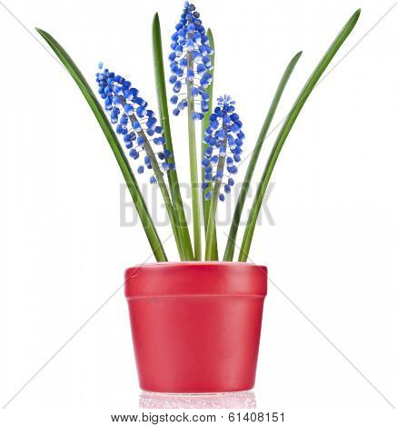 Blue Spring flowers Muscari in clay flowerpot Isolated on white background