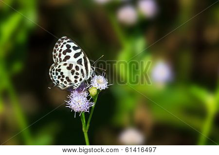 Small Black And White Butterfly Sucking Food From Flower