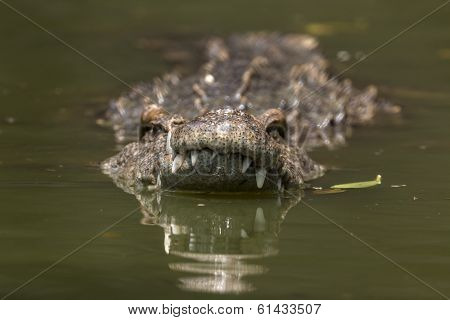 Swim In Crocodile