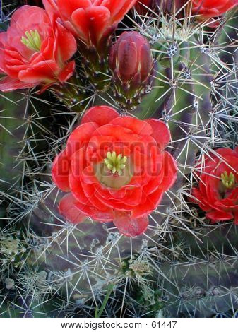 Claret Cup Cactus Bloom