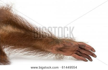 Close-up of a young Bornean orangutan's arm, Pongo pygmaeus, 18 months old, isolated on white