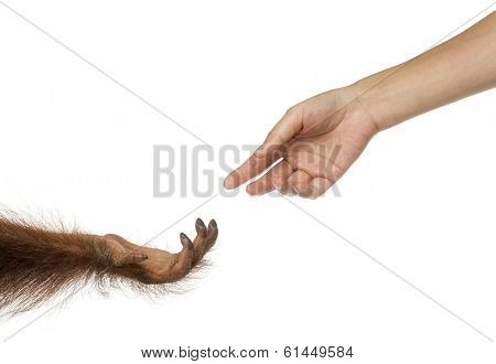 Bornean orangutan and human hands reaching at each other, Pongo pygmaeus, 18 months old, isolated on white