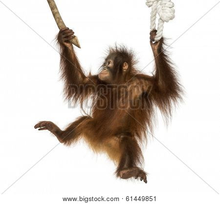 Young Bornean orangutan hanging on to a branch and rope, Pongo pygmaeus, 18 months old, isolated on white