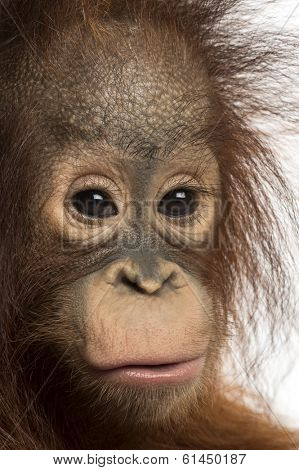 Close-up of a young Bornean orangutan, looking at the camera, Pongo pygmaeus, 18 months old, isolated on white