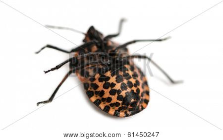 Italian Striped-Bug lying on the back, Graphosoma lineatum, isolated on white