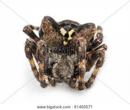 Dead European garden spider, Araneus diadematus, isolated on white