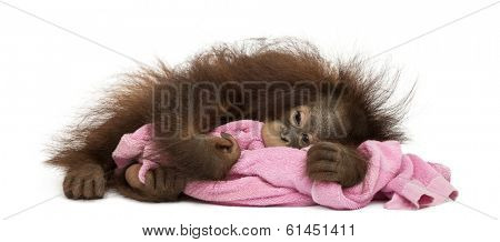 Young Bornean orangutan tired, lying and cuddling a pink towel, Pongo pygmaeus, 18 months old, isolated on white