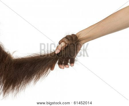 Close-up of a young Bornean orangutan's hand holding a human hand, Pongo pygmaeus, 18 months old, isolated on white