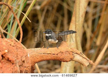 Pied Fantail (rhipidura Javanica)