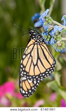 Monarch butterfly on a baby blue Chinese Forget-me-not flower in summer garden
