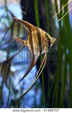 Altum Angelfish (pterophyllum Altum)