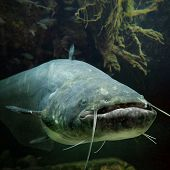 Underwater photo of The Catfish (Silurus Glanis). Biggest predatory fish in European lakes and river.  poster