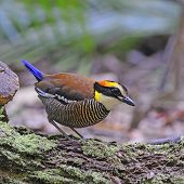 Colorful Pitta, female Malayan Banded Pitta (Pitta irena), standing on the log poster
