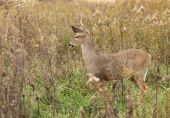 Female white-tailed deer standing in tall grass poster