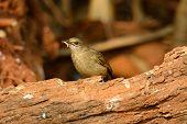 beautiful Streak-eared Bulbul (Pycnonotus blanfordi) standing on the log poster