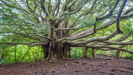 Banyan tree of life