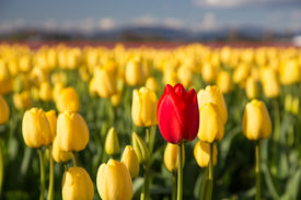 Red tulip in a yellow field