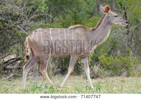 Greater Kudu Cowv