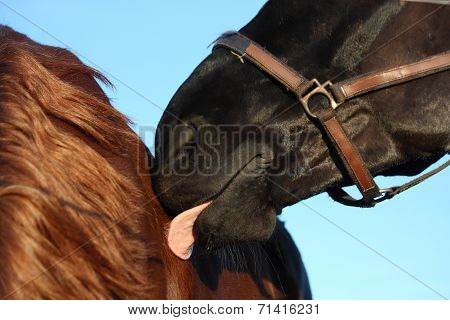 Black Horse Nuzzling Brown Horse