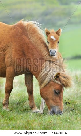 Wild Dartmoor Mother And Foal