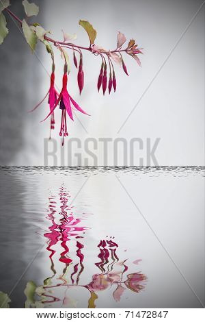 fuchsias flowers reflected on water